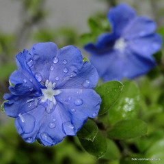 Blue drops (Camila Thiers) Tags: blue flores flower green water fleur rain gua azul drops flor gotas lilac fiori blume lils