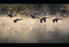 First flight (sparth) Tags: seattle morning winter cold reflection bird nature water birds early frozen geese washington january earlymorning goose 03 redmond birdsinflight parc oiseaux bif marymoor oies parck 70200f4l 2011 marymoorpark 70200l