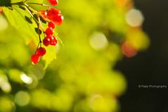 Happy Bokeh Wednesday (Mijn Focus Fotografie) Tags: autumn winter light red sun plant tree green fall colors leaves outside berry groen bokeh herfst drop boom rood buiten druppel besjes blaadje drup bessen