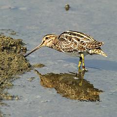 ปากซ่อมหางพัด Common Snipe (somchai@2008) Tags: commonsnipe gallinagogallinago thewonderfulworldofbirds ปากซ่อมหางพัด qualitygold