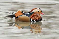 Anatra mandarina (giansacca) Tags: birds animals duck uccelli pato mandarin mandarinduck animaux animali canard oiseaux racconigi aixgalericulata anitra lipu mandarinente mandarn canardmandarin patomandarn anatramandarina centrocicogne associazionecentrocicogneeanatidi mygearandme mygearandmepremium flickrstruereflection1 flickrstruereflection2