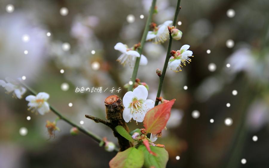 白色の記憶 / 千千