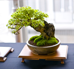 Trident Maple Bonsai Tree (Acer buergerianum), Root Over Rock Style at Don Valley Bonsai Roadshow, Sheffield (Steve Greaves) Tags: old greenleaves tree green art leaves japanese grey miniature stand wooden leaf moss spring ancient branch expo display stadium sheffield style exhibit exhibition indoors commercial bark zen bonsai trunk gnarly weathered aged backlit oriental deciduous horticulture gnarled backlighting livingsculpture donvalley ceramicpot bambooscreen acerbuergerianum tridentmaple rootoverrock nikond300 nikon18200mmf3556gifedafsvrdxlens