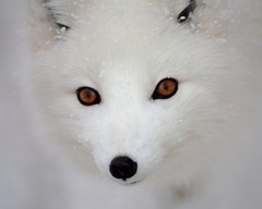 Arctic Fox Out Of The Snow (Brian Callahan (Luxgnos.com)) Tags: white snow snowstorm fox arcticfox briancallahan shinsanbc luxgnosphotography luxgnosis wwwluxgnoscom