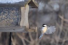 Chickadee Landing DSC_9448