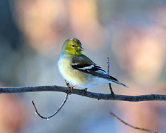American Goldfinch (Brian E Kushner) Tags: bird birds animals lens newjersey backyard nikon wildlife brian goldfinch nj american f4 vr americangoldfinch audubon birdwatcher carduelistristis kushner backyardbirds nikor 200400 vrii spinustristis d7000 audubonnj bkushner brianekushner nikond7000 nikon200400mmf4gedifafsvrzoomnikkorlens