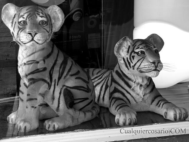 Tigres de escaparate