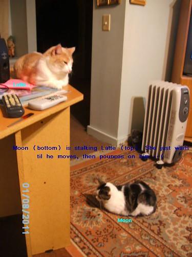 Floor cat stalking desk cat