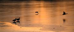 Flights of fantasy made real (Fly bye!) Tags: winter lake ice water frozen flying duck wings flight mallard mere marbury bigmere