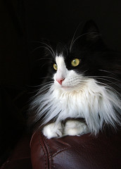 Oscar (hehaden) Tags: white black animal cat kitty tuxedo tux longhaired kissablekat bestofcats kittyschoice catmoments