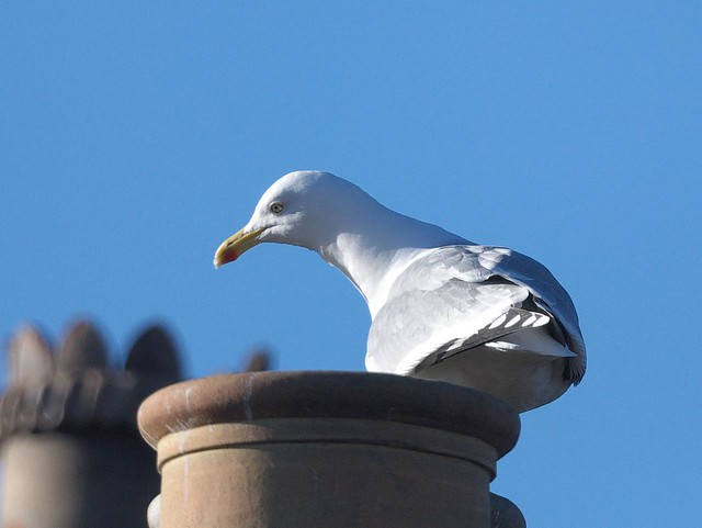 DSC_6148 Herring Gull through telescope