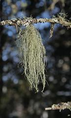 Barbe de St Antoine / Beard Lichen (alain.maire) Tags: lichen usnea borealforest beardlichen usneafilipendula parmeliaceae usne coniferianforest