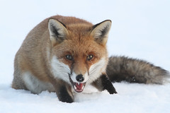 Snow Fox (Dan Belton ( No Badger Cull )) Tags: winter red snow nature beautiful animal mammal cub december native leicestershire freezing fox kits snowing cubs kit loughborough misunderstood vulpesvulpes unfairlypersecuted pleaseendgeorgeosborne