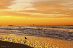 Early Bird Catches the... Crab?! (Didenze) Tags: light sky bird texture sunrise reflections golden sand glow explore sandpiper sanclemente