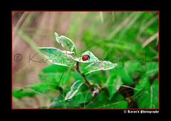 """Lady Bug"" ( Karan's Photography) Tags: red macro lady bug insect photography fly leaf nikon kei yuki jungle micro yatra kullu 2010 singh pradesh karan d90 thakur shrikhand karans himchal kilash"