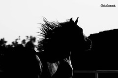 The Dark Horse[Explored] (suka 37) Tags: horses bw horse black art canon dark interestingness explore jeddah arabi      40d  whait  blackwhait
