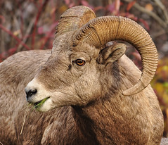 Caught me with my mouth full (Deby Dixon) Tags: fall nature outdoors photography travels nikon montana wildlife adventure ram excitement deby allrightsreserved 2010 bighornsheep naturephotography thrilling thompsonfalls debydixon lookatthateye debydixonphotography shootingisthebestaddictionintheworld