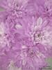 Project [15- 50] (Till Today ,, Maram Al-Harbi) Tags: flower rose canon project flickr d 15 till 50 today وردة اليوم ورد فرح فليكر ● بنفسجي زهر زهره الين بروجيكت тιℓℓ тσ∂αу