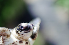 The Poser (Fajar Nurdiansyah) Tags: bali animal indonesia turtle seaturtle animalportrait sciuridae sigma2470mmexdg