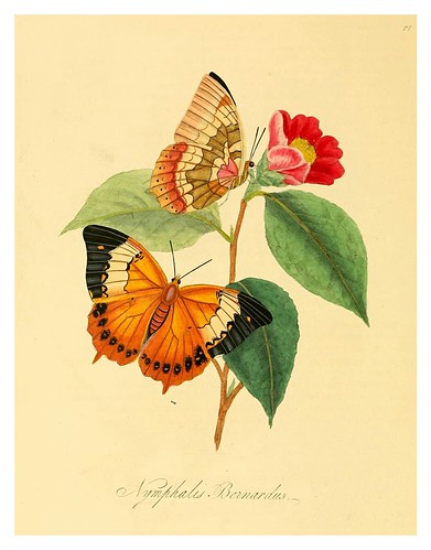 007-Nymphalis Bernardus-Natural history of the insects of China…1842- Edward Donovan