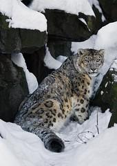 Lovely Winter Time (Blitzknips) Tags: animals cat zoo tiere leopard bigcat katze tierpark katzen snowleopard tierparkberlin schneeleopard specanimal itsazoooutthere flickrbigcats wildcatworld naturesgreenpeace
