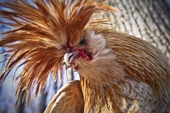 Polish Rooster (Pete Flick) Tags: orange bird chicken feathers fowl pollo ornery