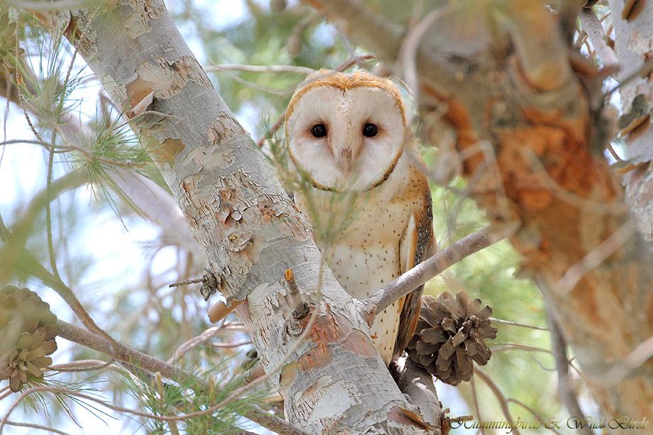 Barn-Owl-051101