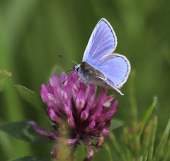 Common Blue Butterfly on Red Clover (EionaR. [busier than ever]) Tags: wales carmarthenshire llanelli lepidoptera wildflowers wfc polyommatusicarus redclover commonbluebutterfly llanelliwwt