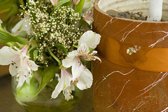 Flor (XXI) - Astromelia (Calvipitecus) Tags: chile canoneosdigitalrebelxt jupiter37a astromelia calvipitecus