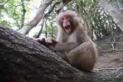 Anger (Masashi Mochida) Tags: awaji awajimonkeycenter monkey wildlife amimal nature