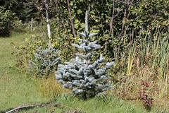 Blue Spruce (Picea pungens) (Gerald (Wayne) Prout) Tags: bluespruce piceapungens plantae pinophyta pinopsida pinales pinaceae picea cedarmeadowsresortandspa cityoftimmins northernontario canada prout geraldwayneprout timmins ontario ontarione trees spruce sprucetrees cedar meadows resort spa