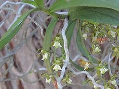 Plectorrhiza tridentata 5 (barryaceae) Tags: forster nsw australia macintosh street ausorchid ausrfp ausrfs australianrainforestplants australian rainforest plants species australianorchids orchid orchids new south wales ausrfps ausorchids