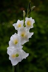 Gladiole (3) (berndtolksdorf1) Tags: gladiole blume flower blten pflanze weis gartenblume outdoor