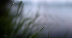 Shallow depth of field drops on the grass by the river panorama (czdistagon.com) Tags: bokeh summer nature morninglight morning light landscape grass flora czcontaxdistagon3514 cz contax distagon 3514 updatecollection gmt czdistagon czdistagoncom aleksandrmatveev carlzzeiss zeiss macro green growth meadow water drop dew background environment plant wet raindrop freshness outdoor liquid bright spring condensation rain lawn textured leaf environmental weather sunlight droplet bubble life fresh reflection sphere closeup lush abstract clear waterdrop shiny beauty color river shallow depth field drops by panorama volga