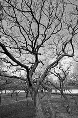Kodokan_28 (GGourd (crazy busy)) Tags: trees japan mito ibaraki plumblossoms