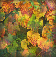 Colour Cascade (virtually_supine) Tags: colour leaves creative manipulation autumnleaves textures layers creepers blending tistheseason autumncolour photoshopelements7 theawardtree tatot daarklands magicunicornverybest heavensshots