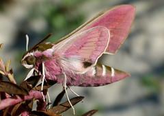 Historia de una mariposa II.........(30 km después.........) (T.I.T.A.) Tags: macro lepidoptera mariposa tita insecto polilla hyles hyleseuphorbiae polillanocturna esfingedelalechetrezna carmensolla ¡quemehannacidodos quemehequedadosincomerporirasoltarlas polillarosa hylestithymaligallaeci hibridotithymalixeuphorbiae carmensollafotografía carmensollaimágenes
