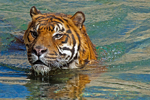 Swimming Tiger.   IMG_0620-1.jpg
