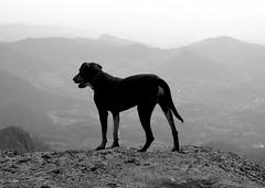 térszög / solid angle (debreczeniemoke) Tags: autumn blackandwhite bw dog white black kutya transylvania transilvania ff erdély fekete fehér ősz frakk transylvanianhound rozsály copoiardelenesc erdélyikopó transylvanianbloodhound solidangle igniş térszög