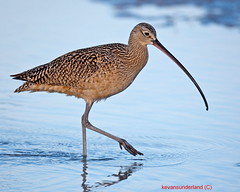 Long Billed Curlew In Low Light Fort DeSoto (kevansunderland) Tags: searchthebest fortdesoto curlew longbilledcurlew shorebirds wadingbirds floridabirds