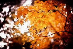 whispers of amber (moaan) Tags: life leica november autumn color yellow 50mm gold amber dof bokeh diary f10 momiji japanesemaple kobe utata rokko noctilux m3 hue tinted 2010 fujivelvia100 tinged rvp100 leicam3 autumnaltints inlife leicanoctilux50mmf10 succinite diaryofnovember glaesum gettyimagesjapanq1 gettyimagesjapanq2