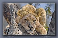 Lion (Panthera leo) (Arno Meintjes Wildlife) Tags: africa wallpaper bird art animal print bush sale framed wildlife lion safari prints krugernationalpark krugerpark knp pantheraleo arnomeintjes louisemeintjes