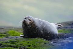 Common Seal (Mark Eastment) Tags: wild skye nature animal mammal coast scotland marine isleofskye wildlife seal british common