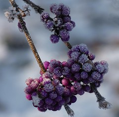 frosted berries (vernon.hyde) Tags: uk winter closeup frost berries hoarfrost rime purpleberries dunhammassey winterscene altrincham pruina frostyberries dunhammasseywintergarden