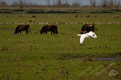 _MG_2539.jpg (WHaselbarg) Tags: nature birds animals swan wildlife nederland thenetherlands vogels natuur dieren flevoland wildanimals zwaan oostvaardersplassen wildedieren heckrunderen wildcows wildekoeien workshopvanstevenruiter