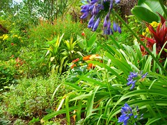 Agapanthus in foreground of backyard autumn border (pawightm (Patricia)) Tags: austin backyard texas agapanthus backyardgarden strelitzia whiteoleander texashillcountry centraltexas yellowbells mixedborder tecomastans anawesomeshot backyardborder septemberblooms flameacanthus alkalinesoil magellanzinnias pawightm kiwicordyline auntieloucordyline ss851171