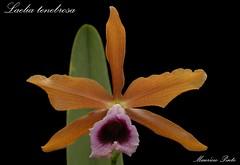 Laelia tenebrosa (Maurício Pinto) Tags: orchid flower color macro fleur colors cores flor orquidea fiori orchidee cor orquídea coleur