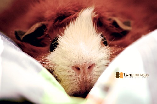 guinea pig sydney pet photography copyright twoguineapigs pet photography
