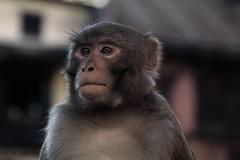 Deep Thoughts (cormend) Tags: city travel nepal portrait canon eos monkey asia kathmandu 50 swayambunath simian monkeytemple cormend
