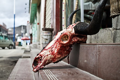(Carl`) Tags: china yak flesh skull blood asia head horns sigma shangrila gore flies 中国 yunnan zhongdian diqing 30mm 云南 香格里拉 中甸 xianggelila